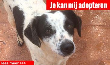 hond-3