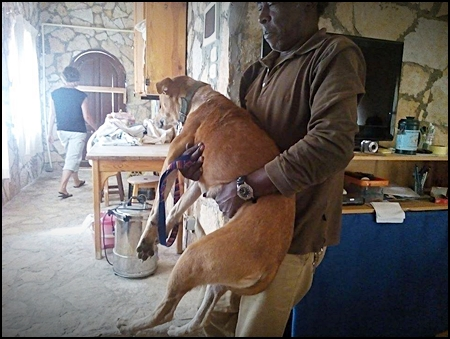 locale bewoner brengt hond in voor sterilisatie