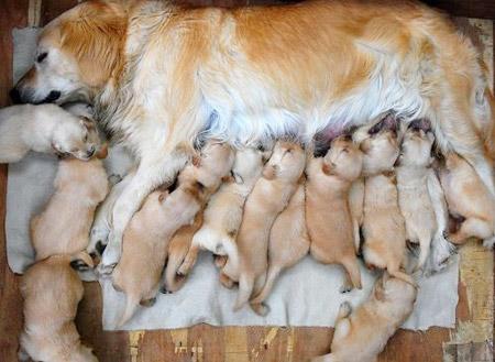 hond met puppies