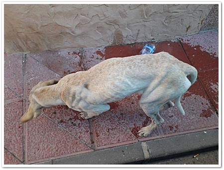 zo mager lopen de honden in Murcia op straat.