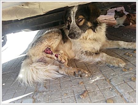 Een gewonde hond die Krasi op straat vond. Zij was de enige die het dier wilde helpen
