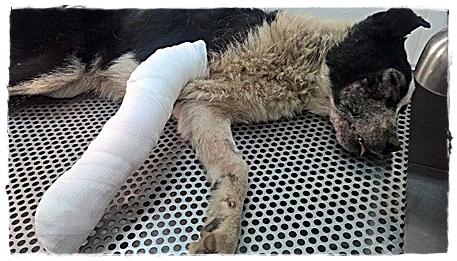 Aangereden hond onder narcose na een openratie aan zijn poot.
