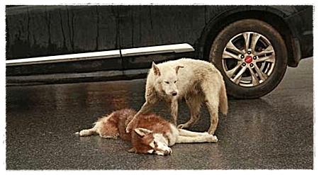 Een hond waakt bij zijn zojuist aangereden vriend