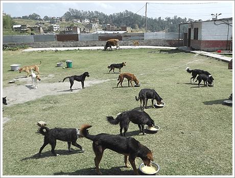 Honden in de hitte in Nepal