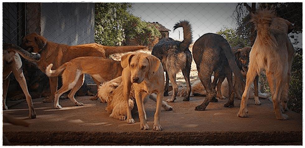 Veel honden bij elkaar in haar opvang