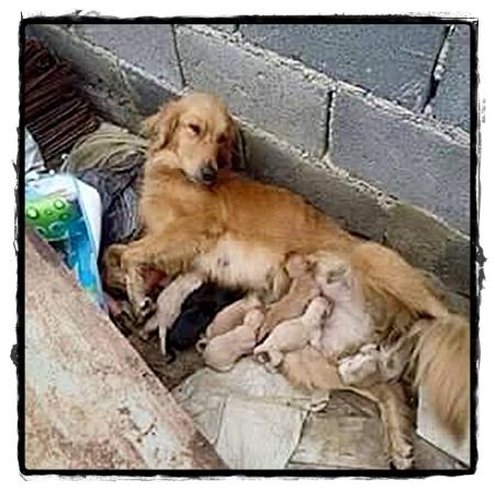 Deze moederhond met veel pups heeft het helemaal zwaar