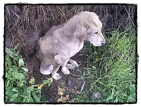 Hond-die-gevonden-werd-met-groot-gezwel