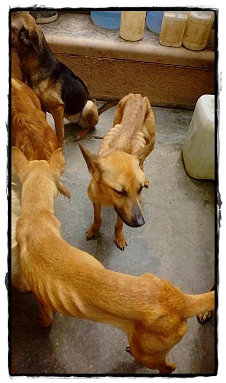 Zo mager komen de honden bij hun binnen