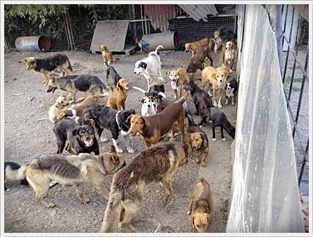 veel-honden-op-de-binnenplaats-van-het-asiel